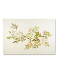 Study of a Wild Rose Greeting Card